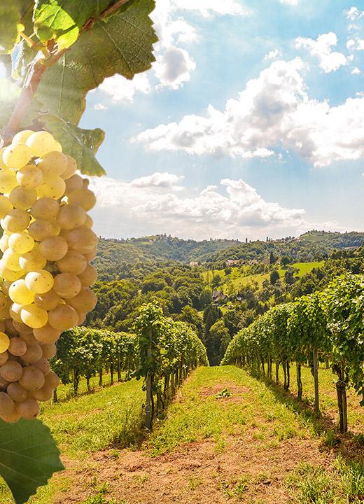 ワイン用ブドウ栽培に必要な<br /> 「土壌、気候、地形」などの条件が<br /> 全て揃っている場所